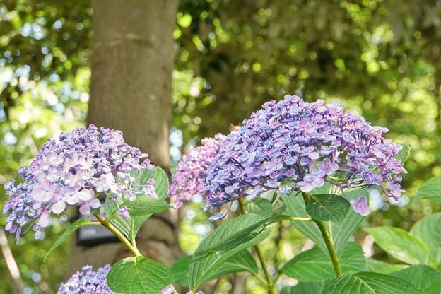 花菜ガーデン【紫陽花】_1741
