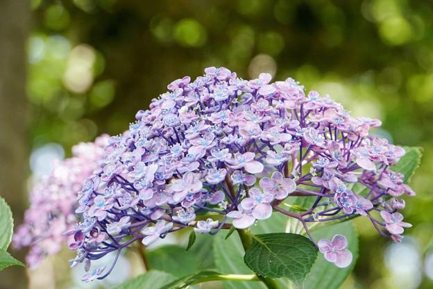 花菜ガーデン【紫陽花】_1742