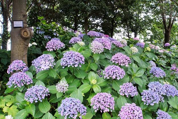 花菜ガーデン【紫陽花】_1743
