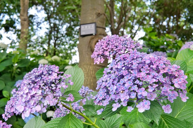 花菜ガーデン【紫陽花】_1744