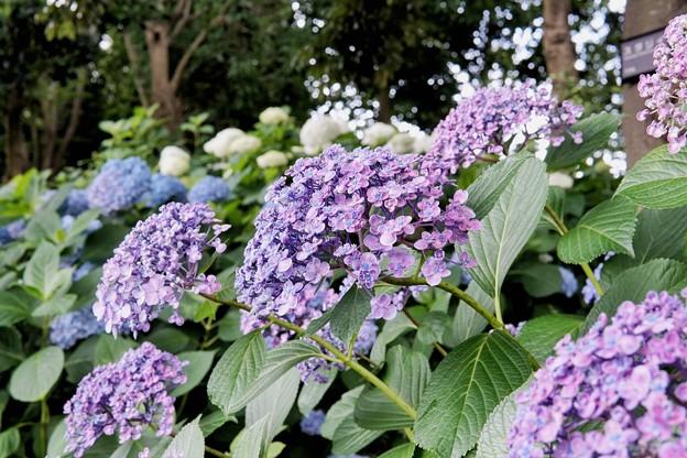 花菜ガーデン【紫陽花】_1745