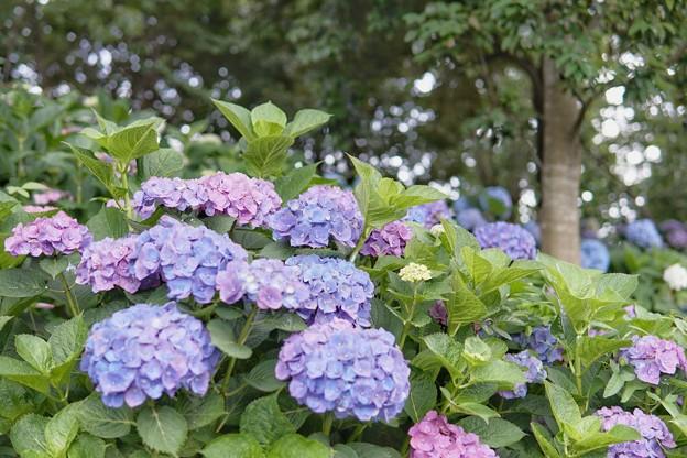 花菜ガーデン【紫陽花】_1746