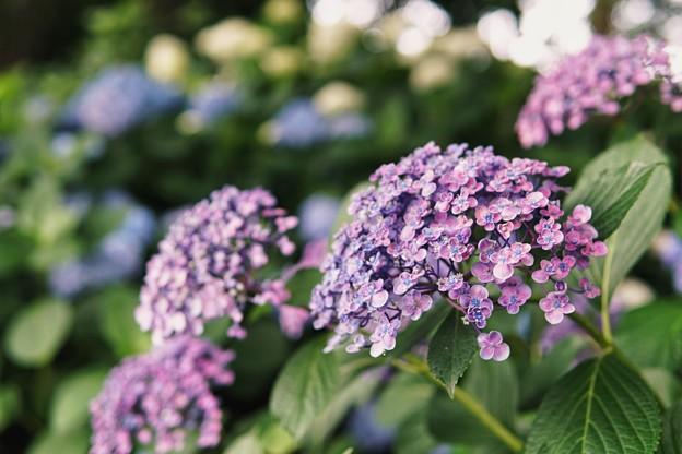 花菜ガーデン【紫陽花】_1747