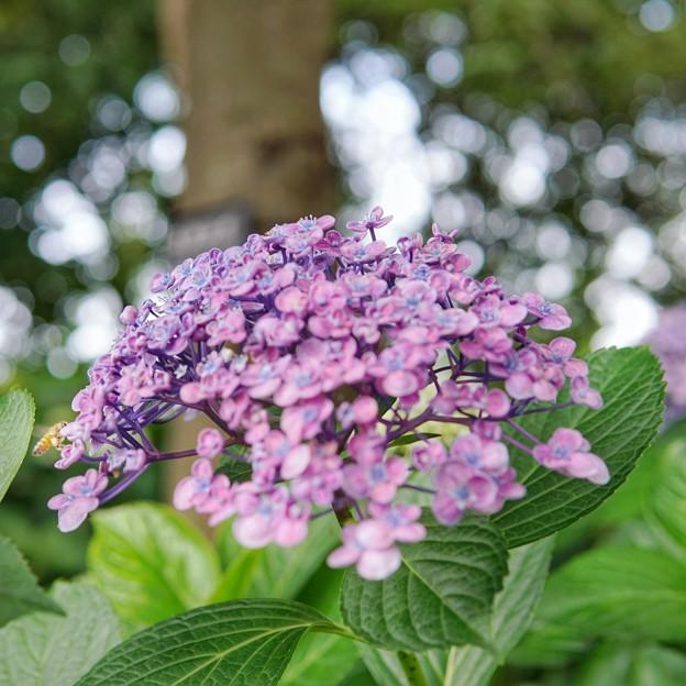 花菜ガーデン【紫陽花】_1881