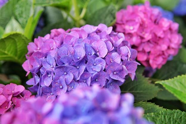 花菜ガーデン【紫陽花】_1883