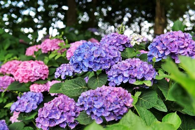 花菜ガーデン【紫陽花】_1884