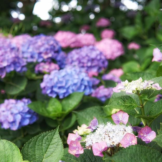 花菜ガーデン【紫陽花】_1885