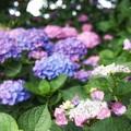 Photos: 花菜ガーデン【紫陽花】_1885