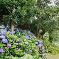 Photos: 花菜ガーデン【紫陽花】_1886