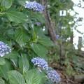 Photos: 花菜ガーデン【紫陽花】_1887
