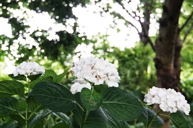 花菜ガーデン【紫陽花】_1888