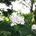 Photos: 花菜ガーデン【紫陽花】_1888