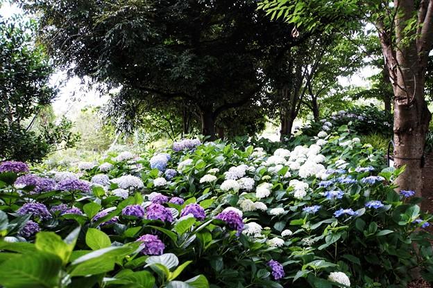 花菜ガーデン【紫陽花】_1889