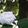 花菜ガーデン【紫陽花】_1890