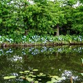 Photos: 花菜ガーデン【紫陽花】_1891