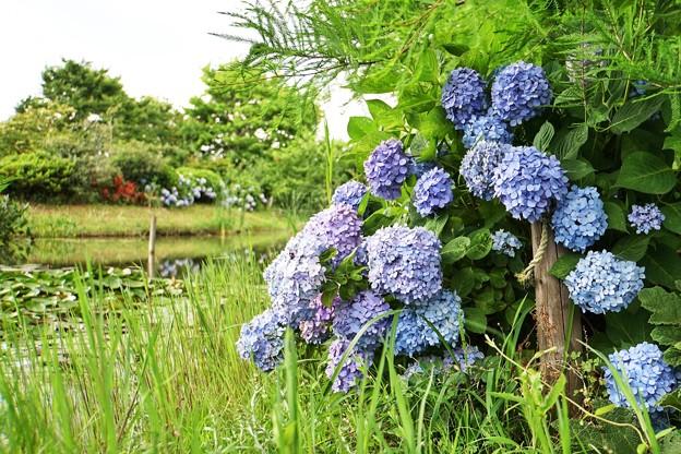 Photos: 花菜ガーデン【紫陽花】_1892