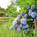 花菜ガーデン【紫陽花】_1892