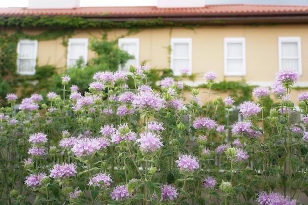 花菜ガーデン【紫陽花】_1893