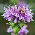 花菜ガーデン【紫陽花】_1894