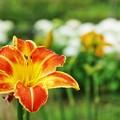 花菜ガーデン【紫陽花】_1895