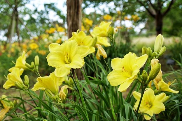 花菜ガーデン【紫陽花】_1896