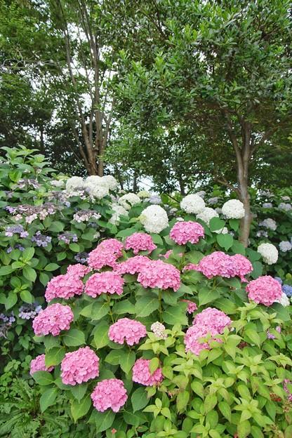 花菜ガーデン【紫陽花】_1898