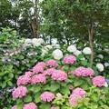 Photos: 花菜ガーデン【紫陽花】_1898