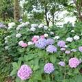 花菜ガーデン【紫陽花】_1899
