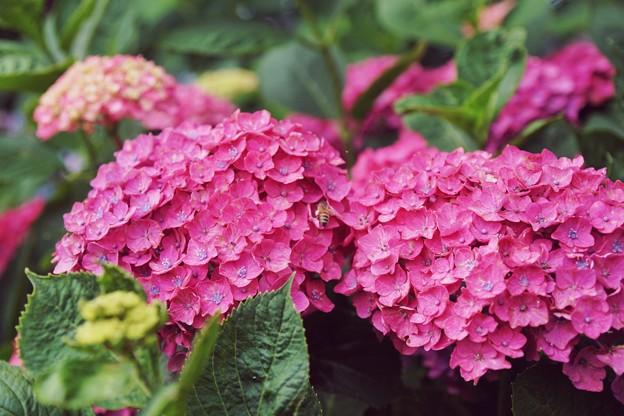 花菜ガーデン【紫陽花】_1900
