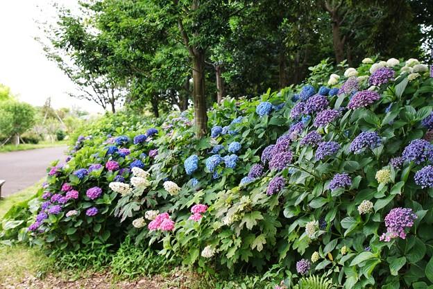 Photos: 花菜ガーデン【紫陽花】_1901