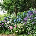 花菜ガーデン【紫陽花】_1901