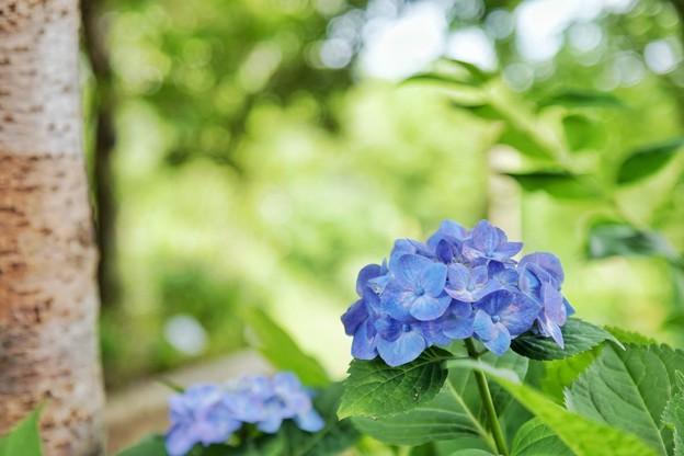 花菜ガーデン【紫陽花】_1903