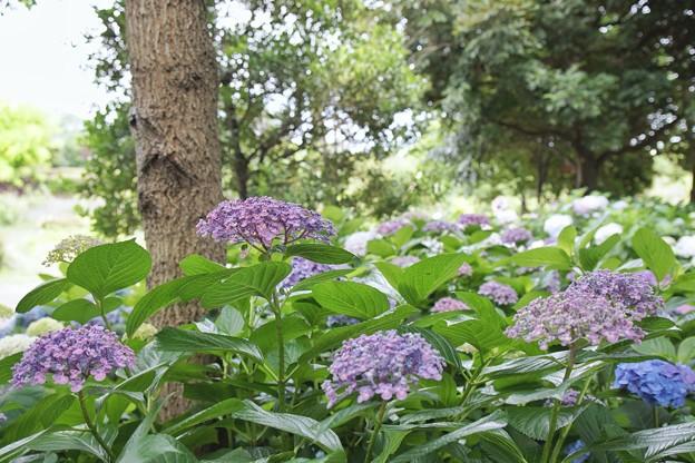 花菜ガーデン【紫陽花】_1904
