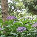 Photos: 花菜ガーデン【紫陽花】_1904