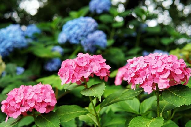 花菜ガーデン【紫陽花】_1882