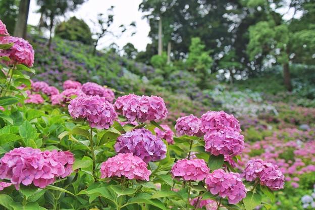 紫陽花屋敷_1908
