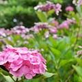 紫陽花屋敷_1918