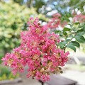花菜ガーデン(16F14)_2557