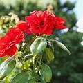 花菜ガーデン(16F14)_2559