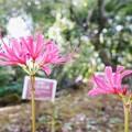 花菜ガーデン(16F14)_2561