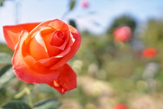 冬の足音:花菜ガーデン_4316
