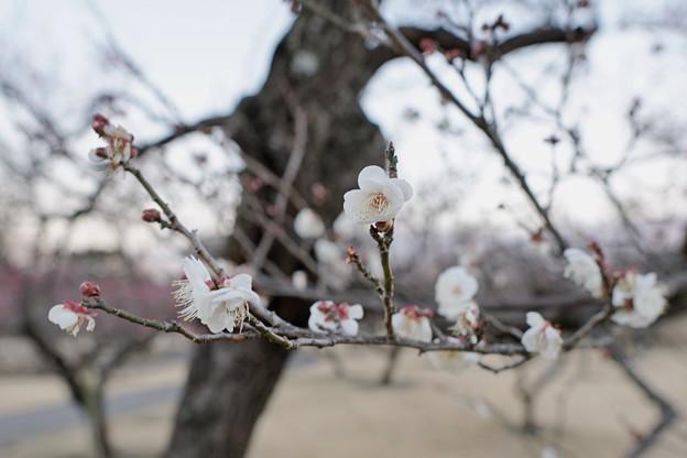 フラワーガーデン早咲の梅_5468