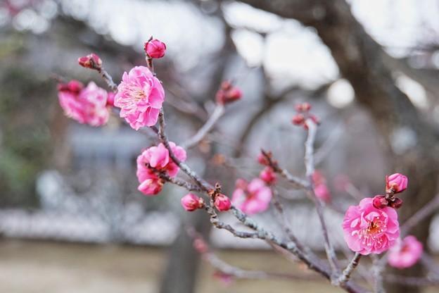 フラワーガーデン早咲の梅_5472