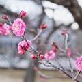 Photos: フラワーガーデン早咲の梅_5472