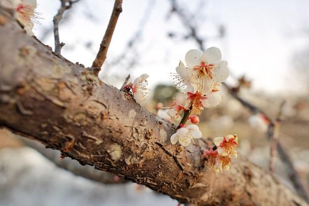 フラワーガーデン早咲の梅_5473