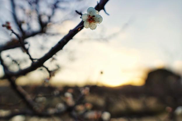 フラワーガーデン早咲の梅_5474