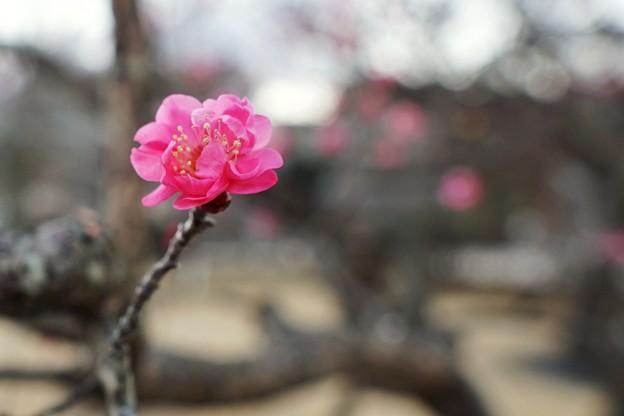 フラワーガーデン早咲の梅_5466