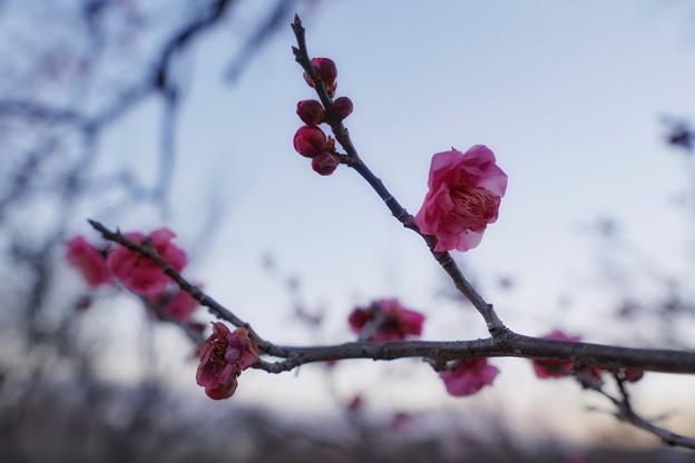 フラワーガーデン早咲の梅_5467
