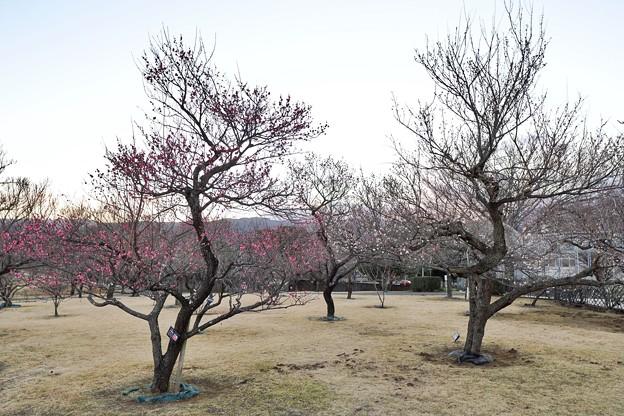 フラワーガーデン早咲の梅_5469