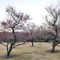 Photos: フラワーガーデン早咲の梅_5469